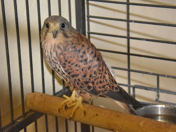 photo Falco tinnunculus / Kestrel