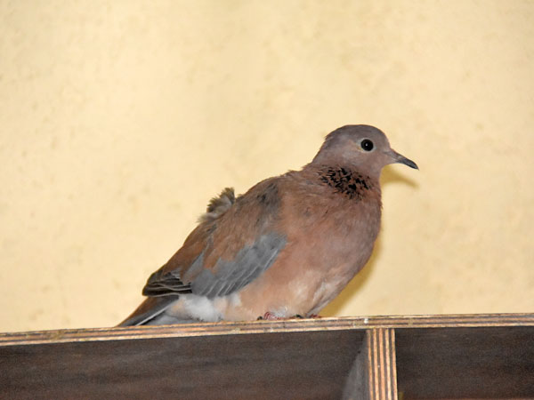photo Laughing dove / <span class='cursive'>Spilopelia senegalensis</span>
