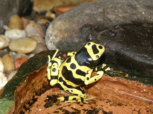 Yellow-banded poison dart frog