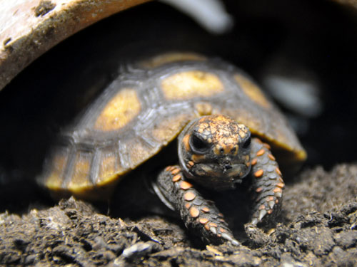 photo South American red-footed tortoise / <span class='cursive'>Chelonoidis carbonarius</span>