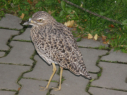 photo Cape thick-knee / <span class='cursive'>Burhinus capensis</span>