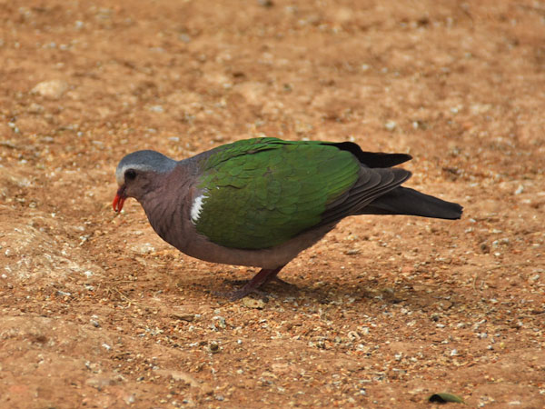 photo Chalcophaps indica / Grey-capped emerald dove