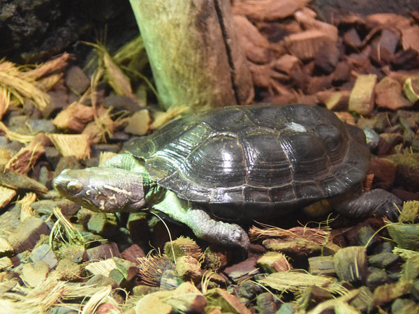 photo Chinese three-keeled pond turtle / <span class='cursive'>Mauremys reevesii</span>