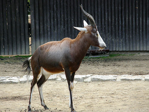 photo Blesbok / <span class='cursive'>Damaliscus pygargus phillipsi</span>
