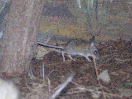 photo Spinifex hopping mouse / <span class='cursive'>Notomys alexis</span>
