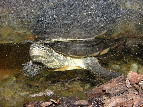 photo Vietnamese pond turtle / <span class='cursive'>Mauremys annamensis</span>