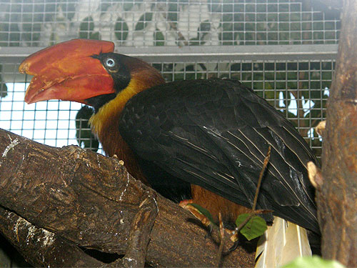 photo Nothern rufous hornbill / <span class='cursive'>Buceros hydrocorax</span>