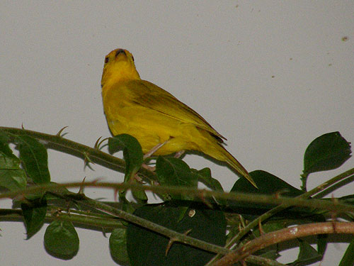 photo Saffron finch / <span class='cursive'>Sicalis flaveola</span>