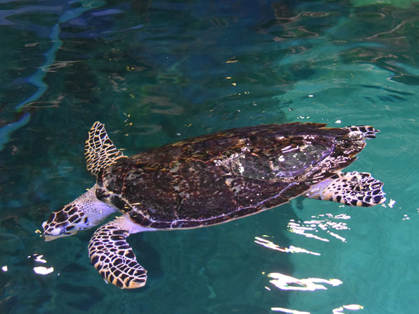 photo Hawksbill turtle / <span class='cursive'>Eretmochelys imbricata</span>