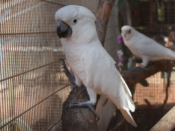 photo White cockatoo / <span class='cursive'>Cacatua alba</span>
