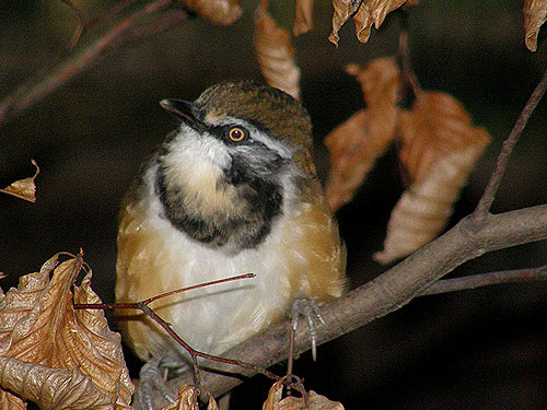 photo Lesser necklaced laughing thrush / <span class='cursive'>Garrulax monileger</span>