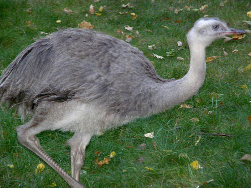 photo Greater rhea / <span class='cursive'>Rhea americana</span>
