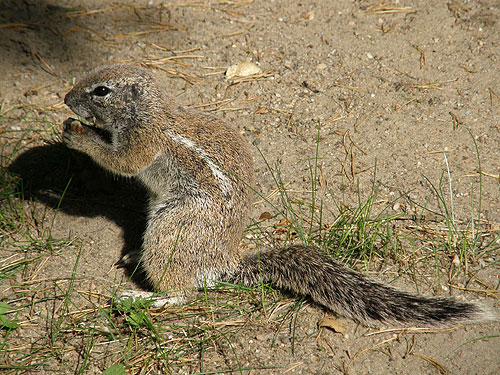 photo Cape ground squirrel / <span class='cursive'>Xerus inauris</span>