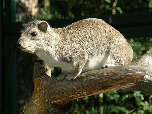 photo Yellow-spotted hyrax / <span class='cursive'>Heterohyrax brucei</span>