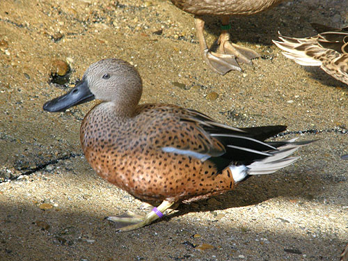 photo Red shoveler / <span class='cursive'>Spatula platalea</span>