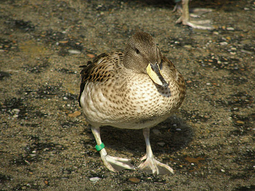 photo Sharp-winged teal / <span class='cursive'>Anas flavirostris oxyptera</span>
