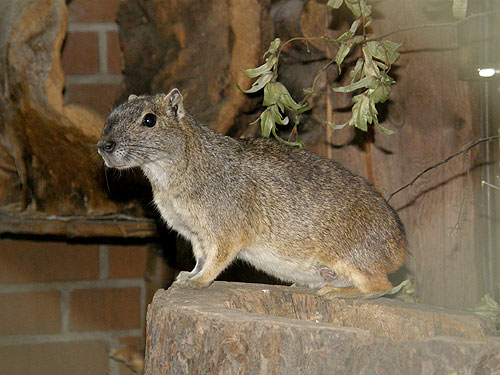 photo Rock cavy / <span class='cursive'>Kerodon rupestris</span>
