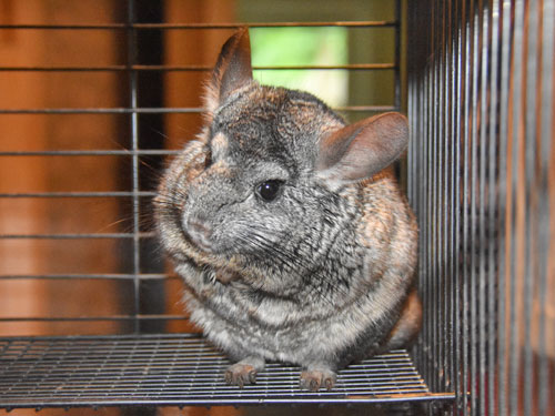 photo Chinchilla lanigera / Chinchilla