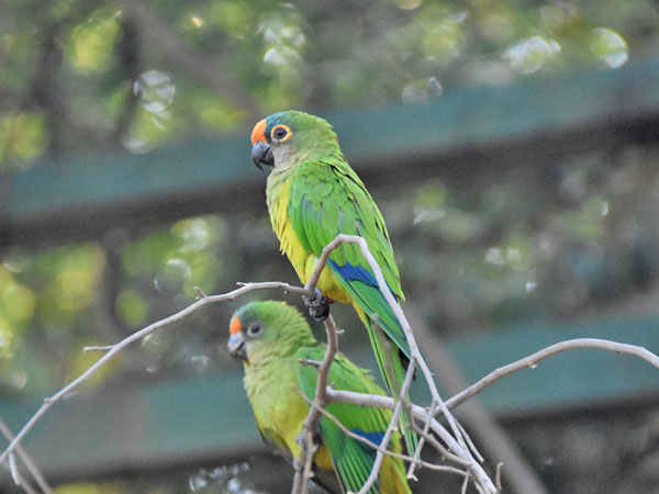 photo Aratinga aurea / Peach-fronted conure