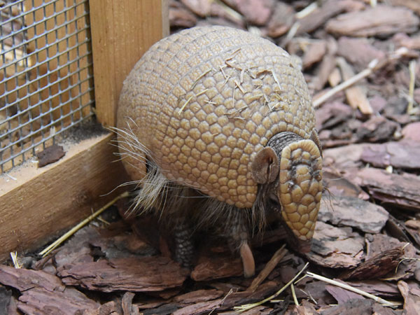 photo Southern three-banded armadillo / <span class='cursive'>Tolypeutes matacus</span>