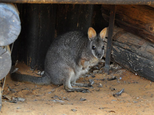 photo Tammar wallaby / <span class='cursive'>Macropus eugenii</span>