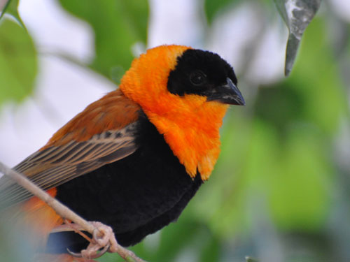 photo Orange bishop / <span class='cursive'>Euplectes orix franciscanus</span>