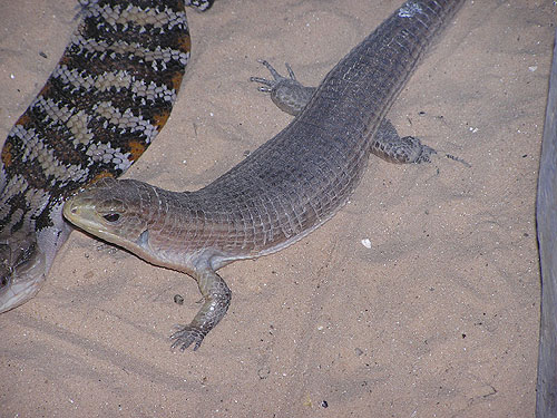 photo Round-nosed plated lizard / <span class='cursive'>Gerrhosaurus major</span>