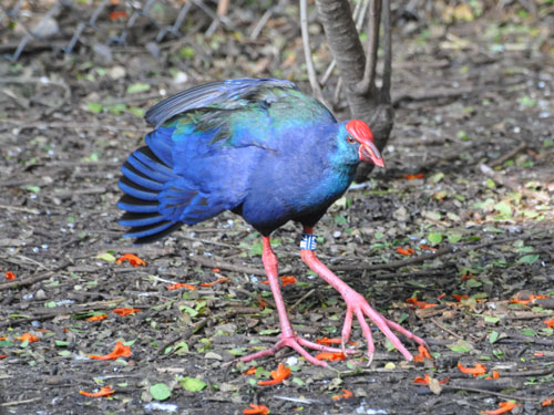 photo Purple swamphen / <span class='cursive'>Porphyrio porphyrio madagascariensis</span>