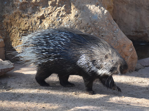 photo Hystrix indica / Indian crested porcupine