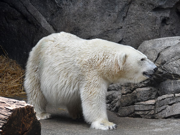 photo Polar bear / <span class='cursive'>Ursus maritimus</span>