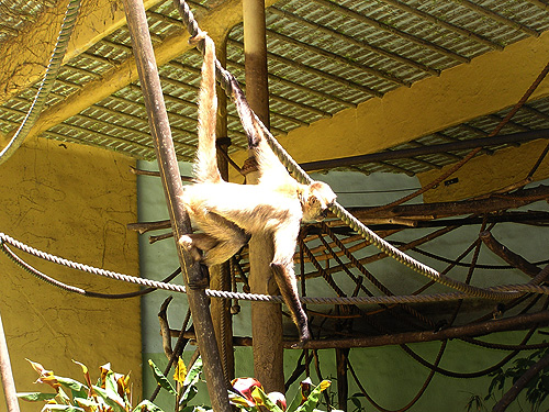 photo Black-handed spider monkey / <span class='cursive'>Ateles geoffroyi geoffroyi</span>