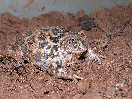 Syrian spadefoot toad