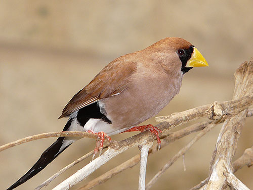 photo Masked finch / <span class='cursive'>Poephila personata</span>