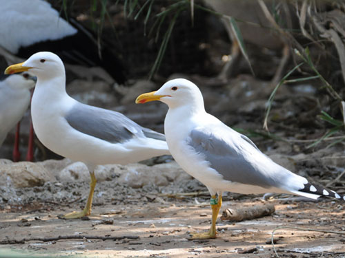 photo Caspian gull / <span class='cursive'>Larus cachinnans</span>