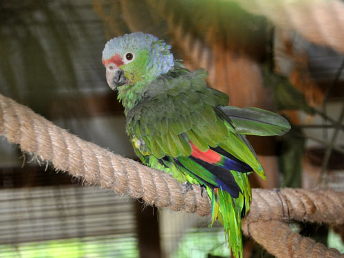photo Salvin's red-lored amazon / <span class='cursive'>Amazona autumnalis salvini</span>