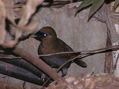 Rusty laughing thrush