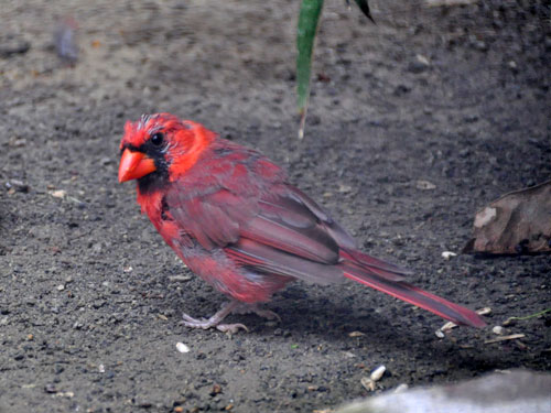 photo Northern cardinal / <span class='cursive'>Cardinalis cardinalis</span>