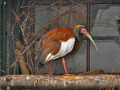 photo Madagascar ibis / <span class='cursive'>Lophotibis cristata</span>