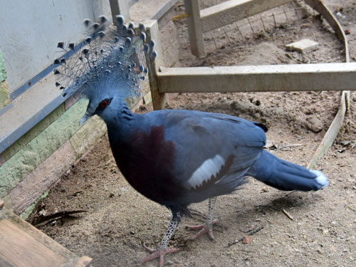 photo Goura victoria / Victoria crowned pigeon