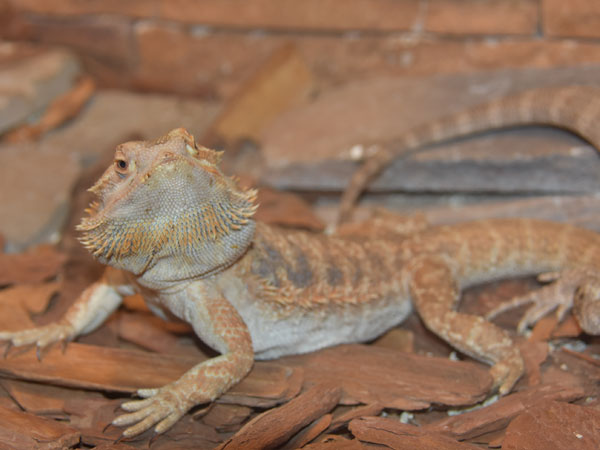 Inland bearded dragon / Pogona vitticeps<br> Total: 100
