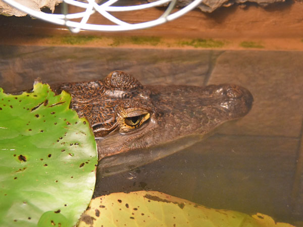 photo Spectacled caiman / <span class='cursive'>Caiman crocodilus crocodilus</span>