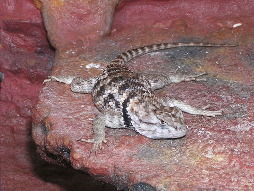 photo Crevice spiny lizard / <span class='cursive'>Sceloporus poinsetti</span>