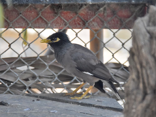 photo Common mynah / <span class='cursive'>Acridotheres tristis</span>