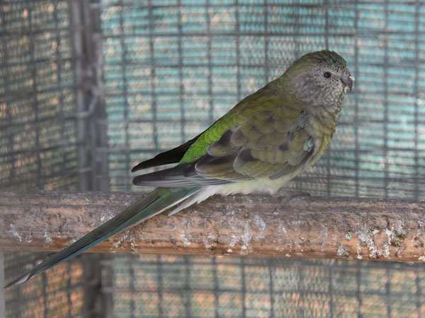 photo Red-rumped parrot / <span class='cursive'>Psephotus haematonotus</span>