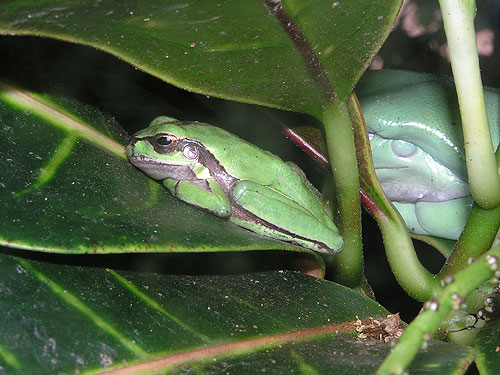 photo European tree frog / <span class='cursive'>Hyla arborea savignyi</span>
