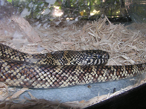 Florida kingsnake