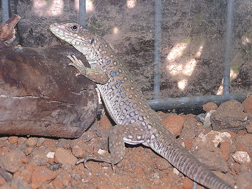 photo Ocellated lizard / <span class='cursive'>Timon lepidus</span>