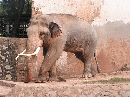 photo Indian elephant / <span class='cursive'>Elephas maximus indicus</span>