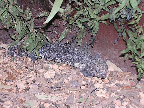 photo Shingleback skink / <span class='cursive'>Tiliqua rugosa</span>