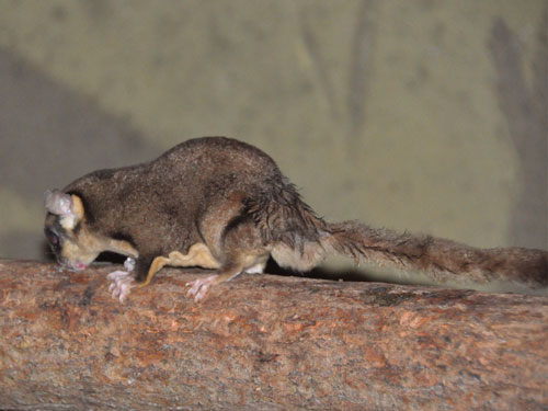 photo Sugar glider / <span class='cursive'>Petaurus breviceps</span>